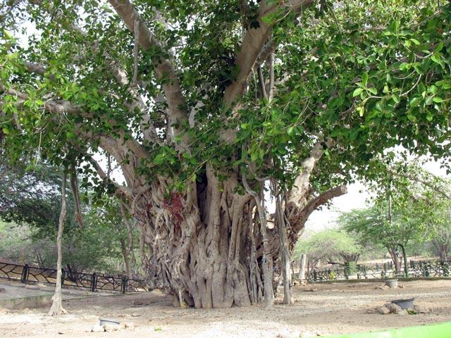 درخت سبز 4 جاهای دیدنی کیش 20 مورد با عکس