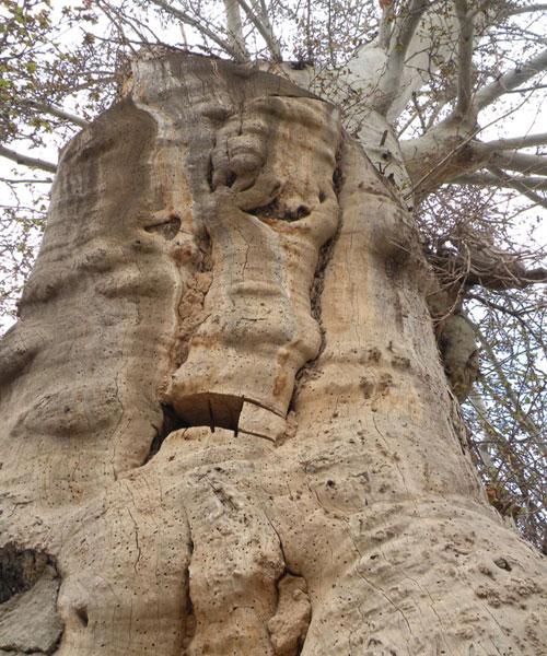 درخت چنار باغوار