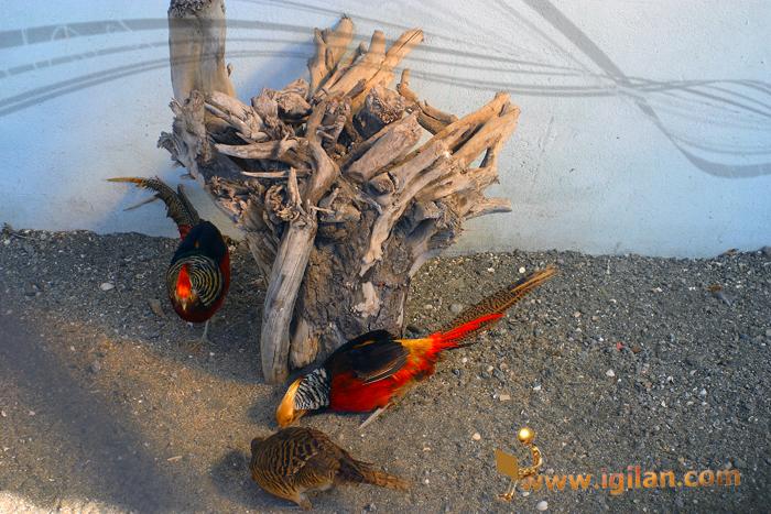 باغ پرندگان باغ پرندگان آستارا