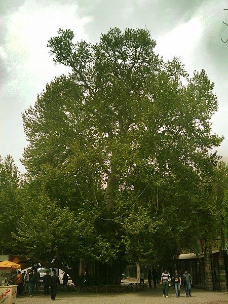 رحمت 1 درخت رحمت