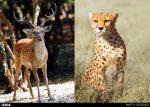 گوزن زرد و یوز ایرانی در معرض نقص ژنتیکی و انقراض