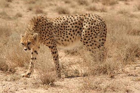 8_uz بهشت گربه سانان ایران از خطر رهید