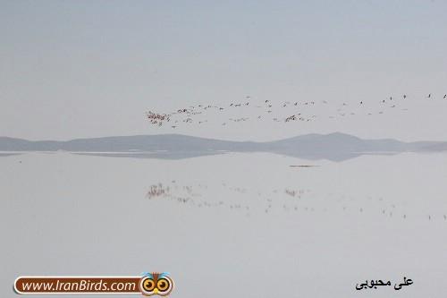 بازگشت فلامینگوها به دریاچه ارومیه / آیا نگین فیروزه ای ایران در حال زنده شدن است؟