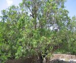 درخت کهنسال پسته اودرج