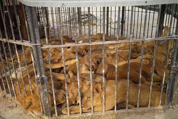 122665_653 آزار دردناک حیوانات در سیرک قشم