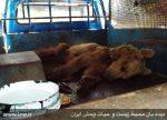 مرگ آرام ماده خرس کرمانشاه