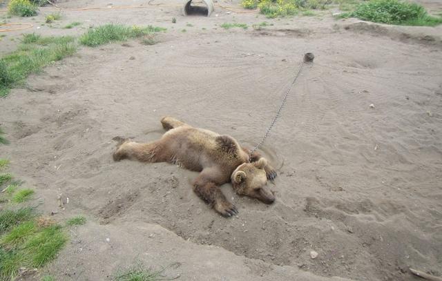IMAGE635341217245341272 40 خرس در اسارتگاه های حیوانات ایران اسیرند