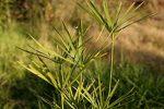 گیاه پاپیروس کلید حفظ منابع آب