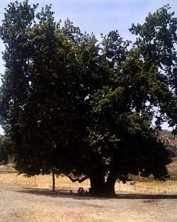 250px-Old_Tree_(Gahvare) شهر گهواره