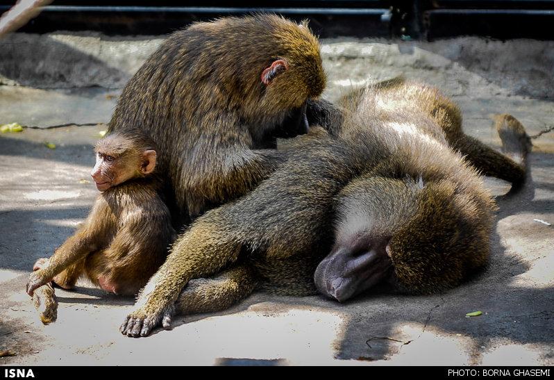 1385 نگهداری 157 حیوان در باغ وحش «کاسیت» خرمآباد