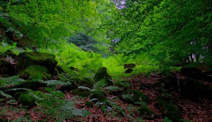 1162 جنگل هلی دار