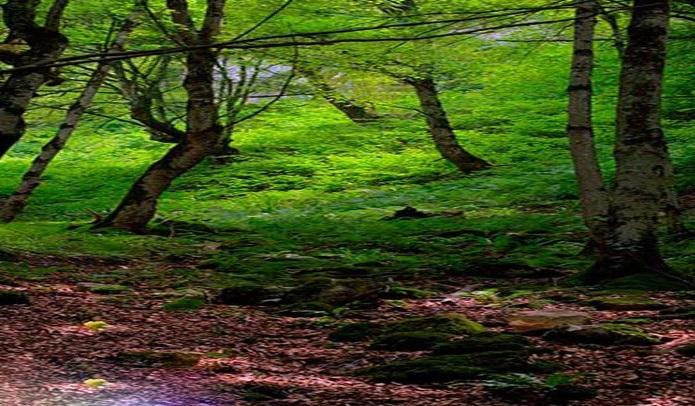 1165 جنگل هلی دار