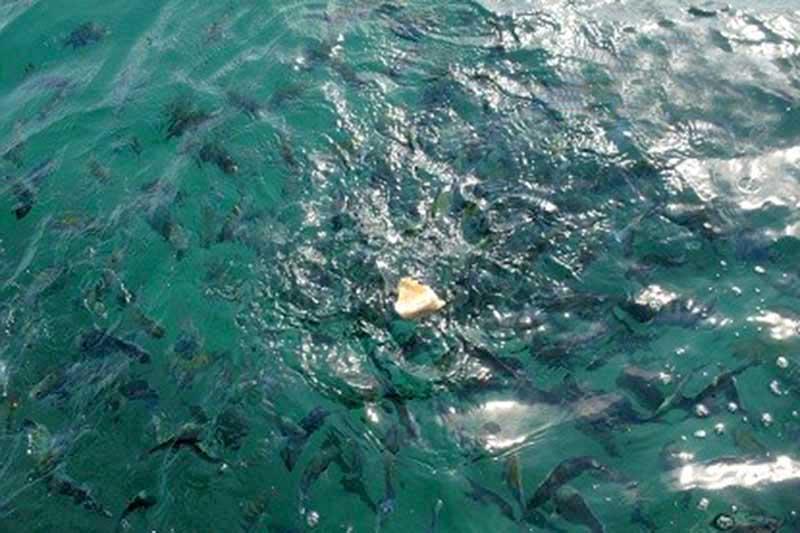 غذا دادن به ماهيها در کیش