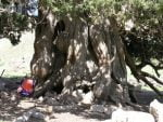 درخت ارس شهرستانک