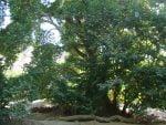 درخت کهنسال چنار دوشنگان