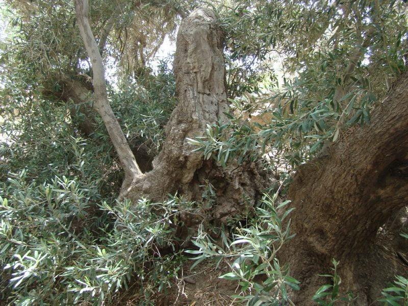 درختان کهنسال زیتون فسون