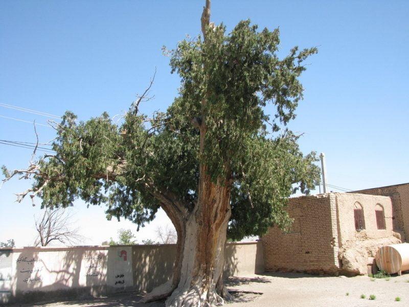 درخت کهنسال سرو گسک
