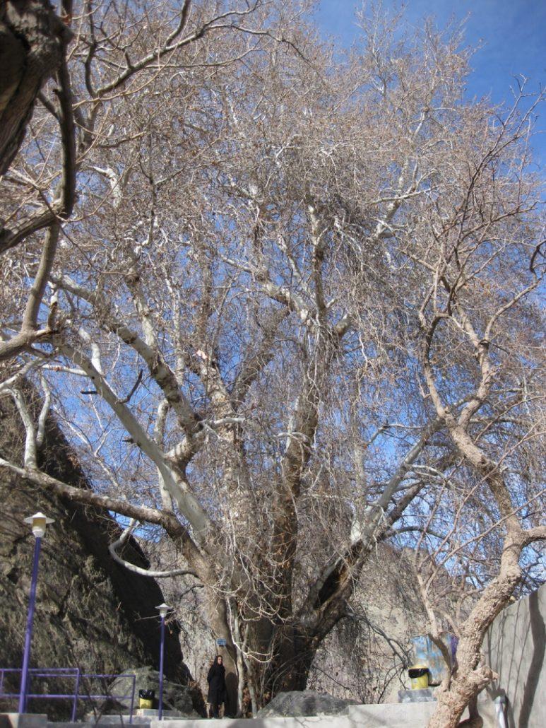 درخت کهنسال چنار رزگ