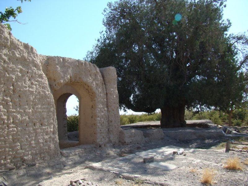 درخت کهنسال سرو فورگ