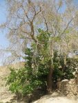 درخت کهنسال چنار مزار سلطان تیمور