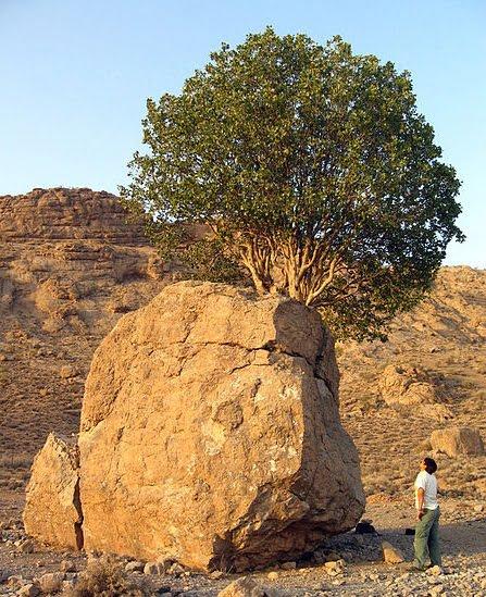 درخت مروارید سبز