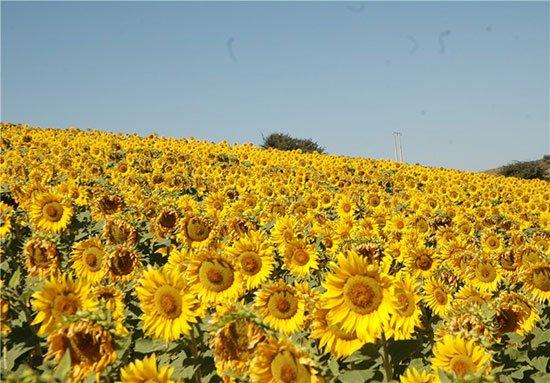 دشت آفتابگردان و شقایق های کالپوش جاهای دیدنی سمنان در بهار