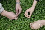 فلسفه سبزه گره زدن