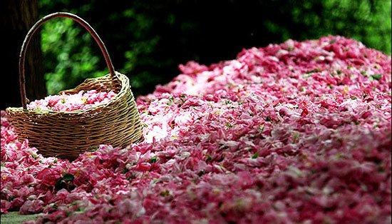 فصل گلابگیری قمصر