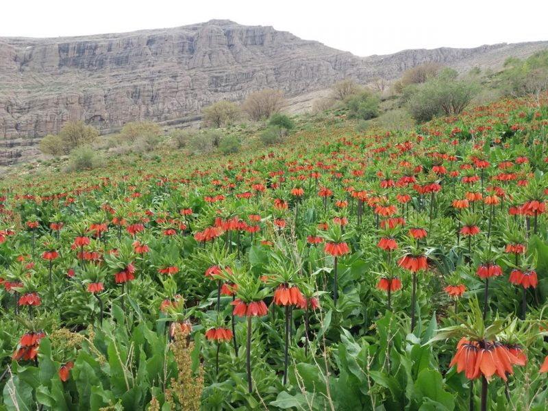 دشت لاله های واژگون رزستان دورود