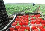 یک شهر پر از توتفرنگی !
