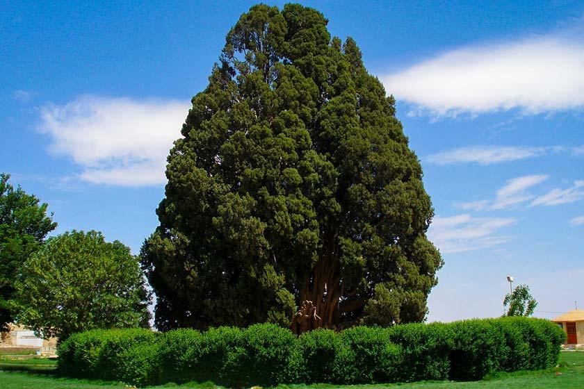 چنار درخت مقدس ایرانیان