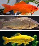 آشنایی ایرانیان با ماهی قرمز