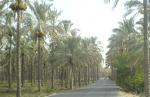 نخل و نخلستان بوشهر