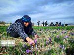جشنواره زعفران فرصتی برای معرفی جاذبههای دماب نجف آباد است