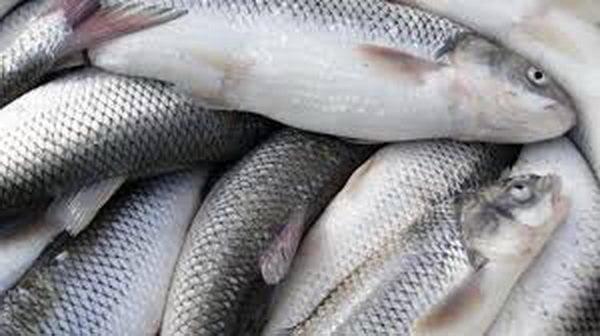 ماهی سفید  چه فصلی در شمال باید ماهی خرید ؟