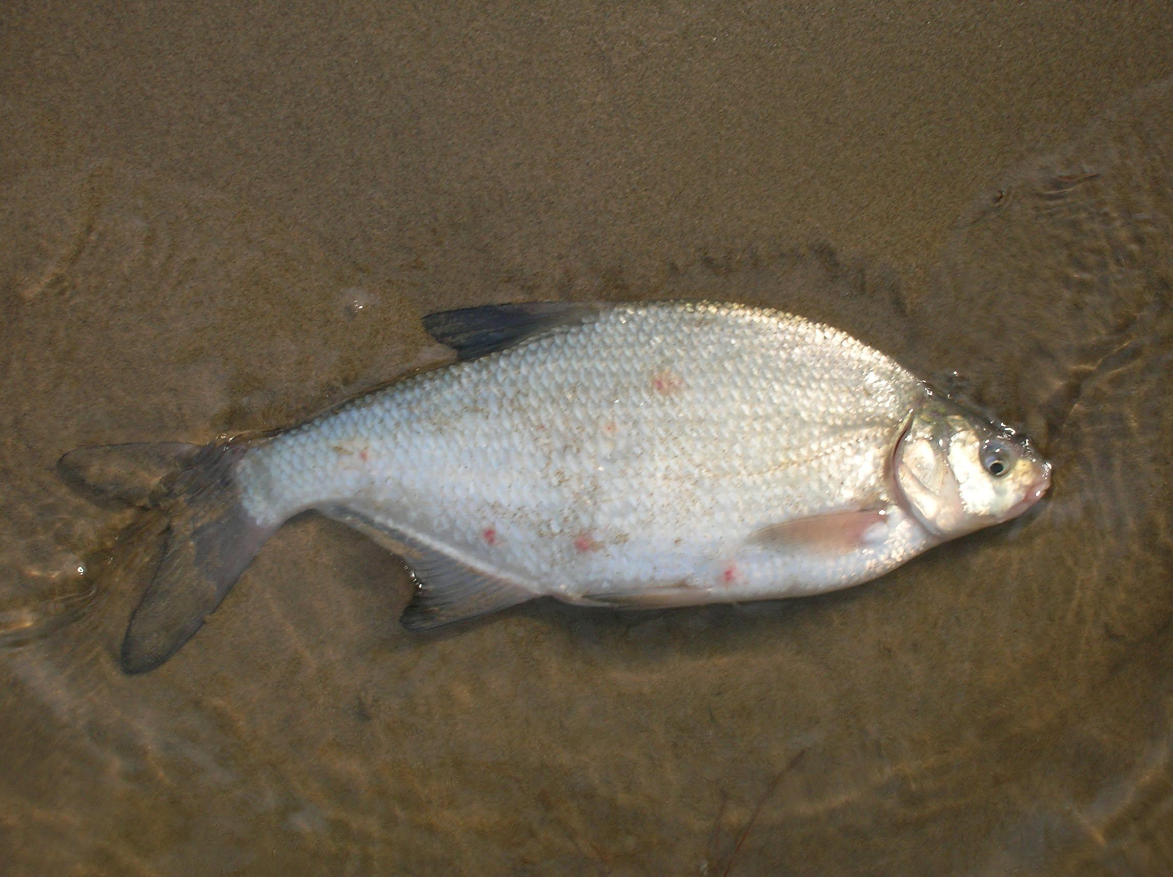 ماهی سیم  چه فصلی در شمال باید ماهی خرید ؟