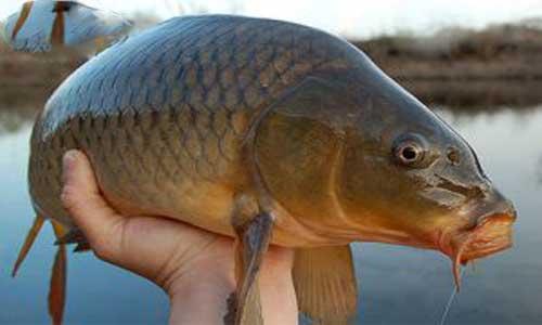 کپور چه فصلی در شمال باید ماهی خرید ؟
