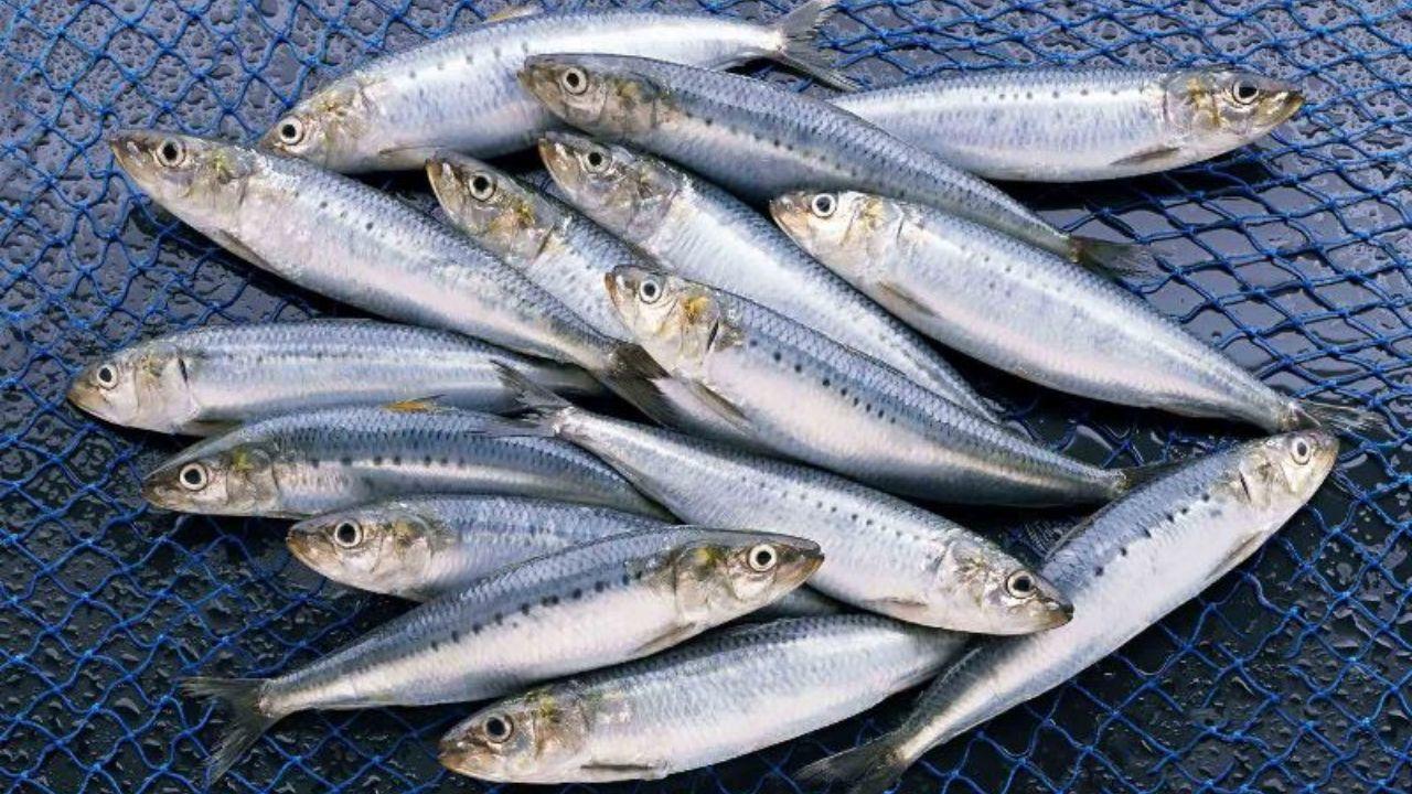 ماهی کیلکا  چه فصلی در شمال باید ماهی خرید ؟