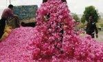 بیکاری ۷۰ هزار شاغل در صنعت گل و گلابگیری