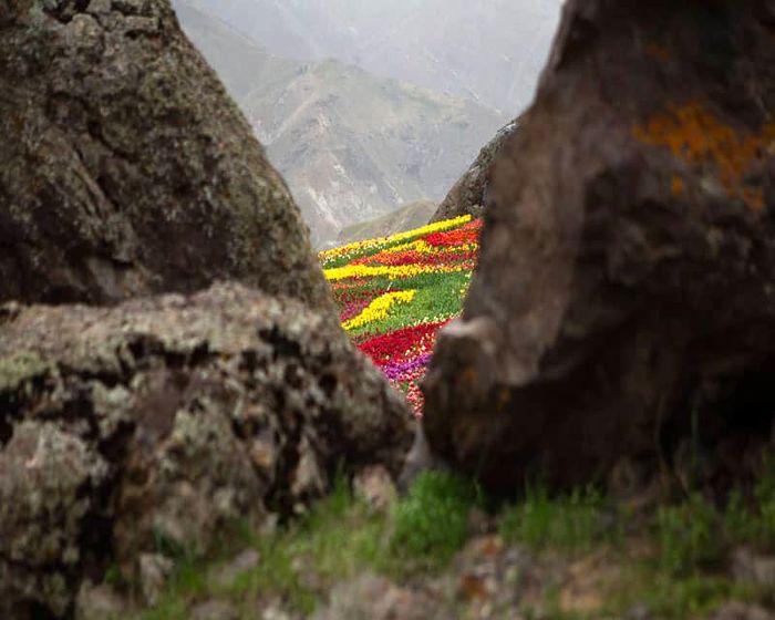 دشت لالههای روستای کندر دشت لالههای روستای کندر