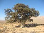 درخت کهنسال ارس ( آرچه ) گرمه