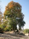 درختان چنار کهنسال اسلام آباد