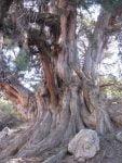 درخت کهنسال ارس سرانی