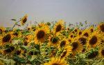 مزرعه گل آفتابگردان استارم بهشهر