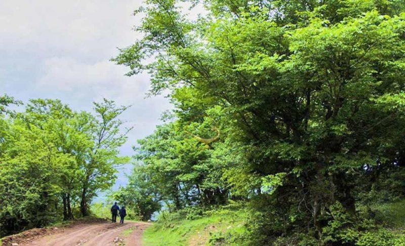 جنگل نقله بر