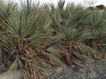 درختچه های داز