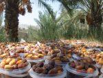 رطب چینی در تابستان بوشهر