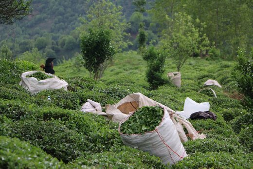 تاریخچه چای و نحوه دم کردن آن