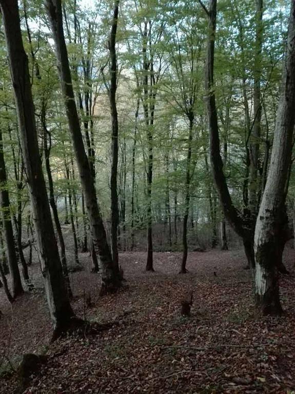 جنگل نسوم قائمشهر