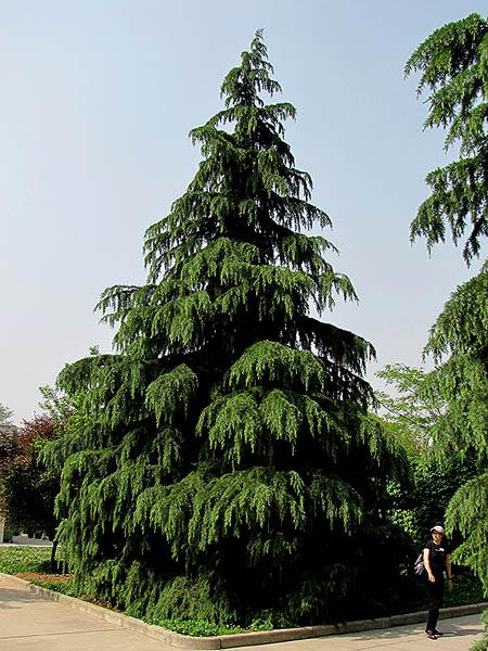 درخت سدر